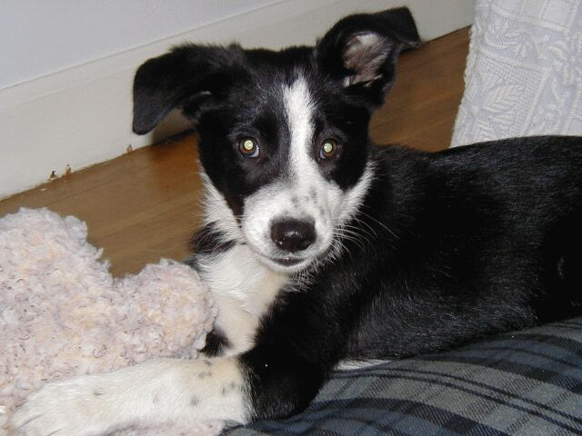 Barbara brought home a 10-week old Border Collie pup (picture here) that's